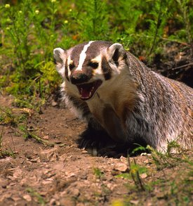 snarling badger