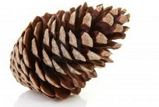 Pin Pine Cone Photos Clip Art Stock on Pinterest