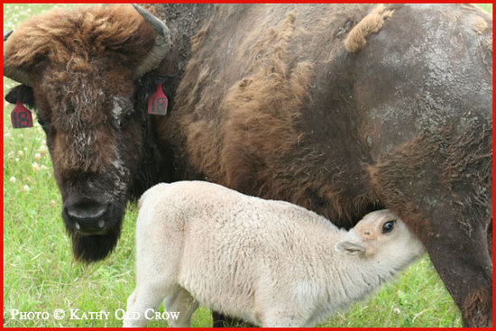 Photo of the buffalo Lightning Medicine Cloud and his mother